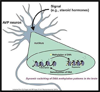 Methylation regulation of vasopressin